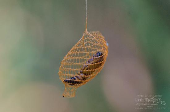 Vackra nätformade fjärilskokonger